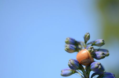 hydrangea bud flower