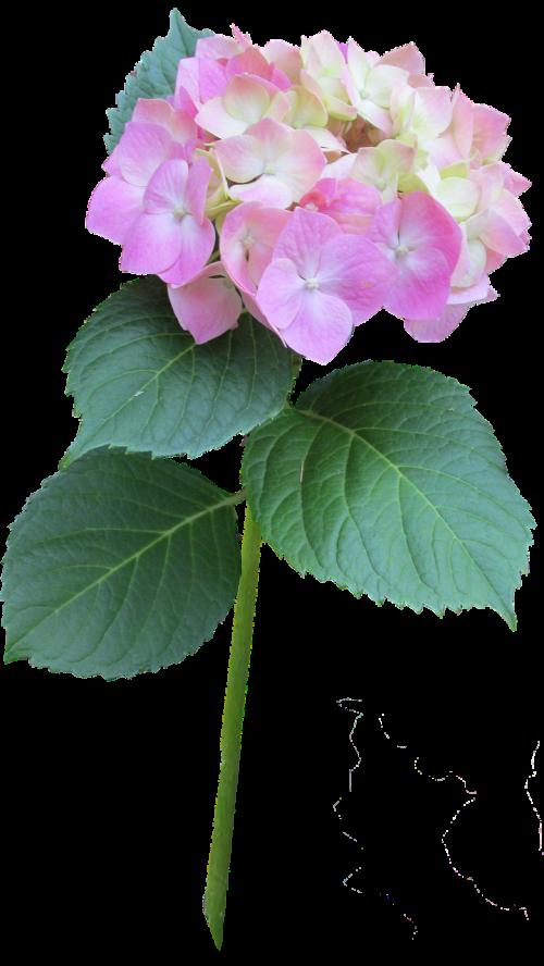 hydrangea pink stem