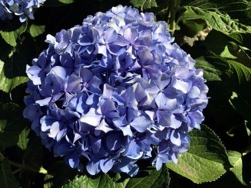 hydrangea blue flower