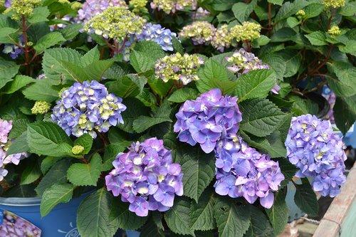 hydrangea  endless summer  purple