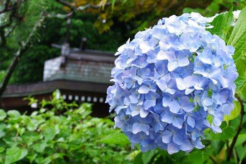 hydrangea  plant  flowers