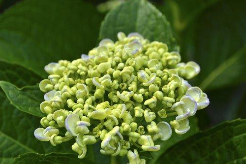 hydrangea  bud  yellow