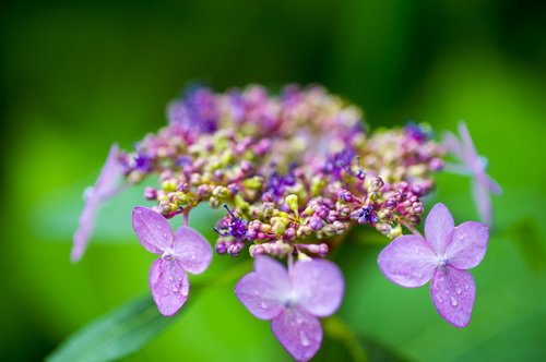hydrangea  halla united states  wildflower