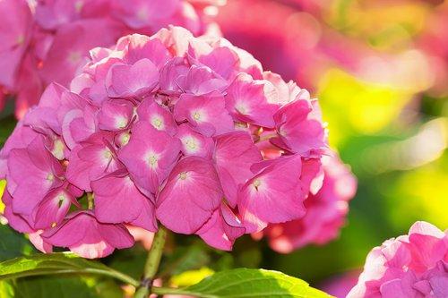 hydrangea  backlighting  flower