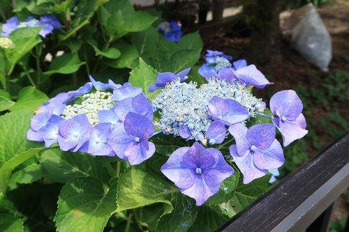hydrangea  blue-violet  summer