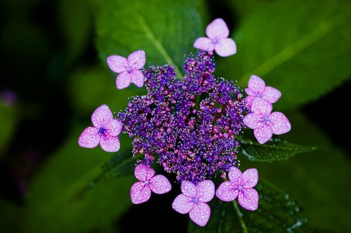 hydrangea  halla united states  purple