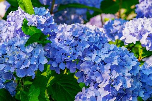 hydrangea  flower  hydrangea flower