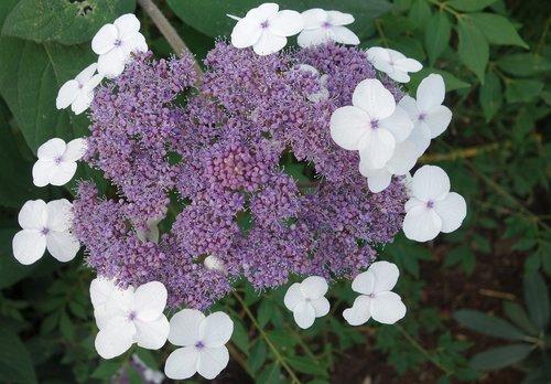 hydrangea  garden  flower