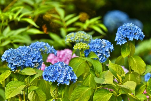 hydrangea  hortensia  shrub
