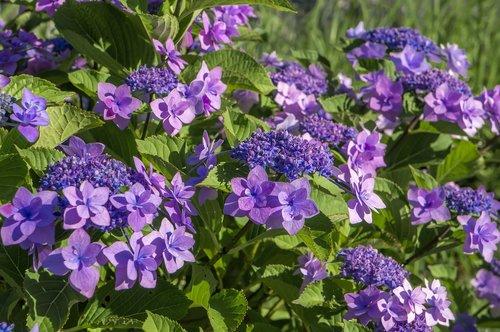 hydrangea  flowers  natural