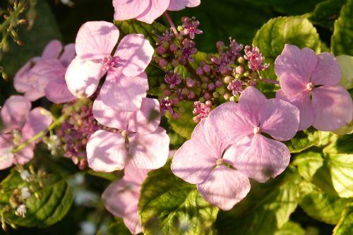hydrangea pink blossom