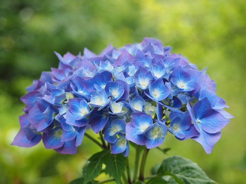 hydrangea  flowers  blue