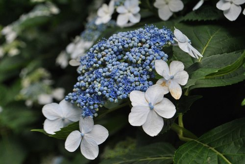 hydrangea  in connection with the blue  garden