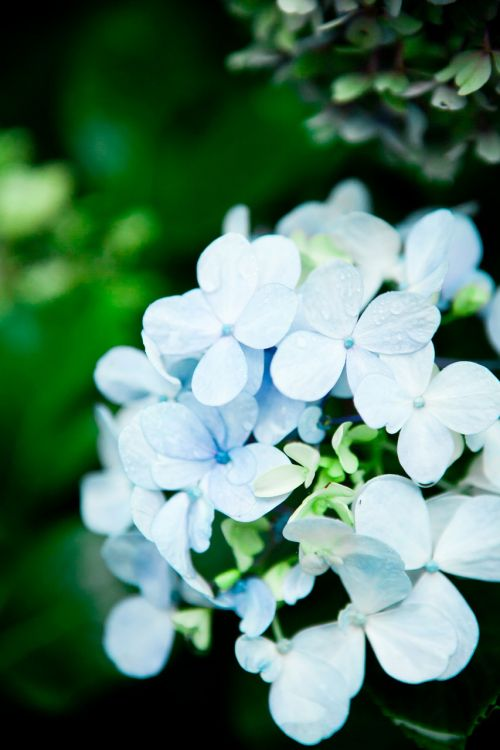 hydrangea flowers himalaya