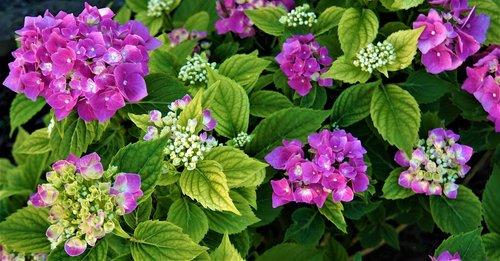 hydrangea  flowers  pink