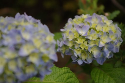 hydrangea  flower  bloom