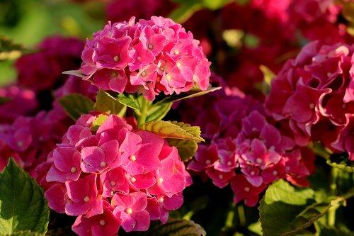 hydrangea  bush  hydrangeas