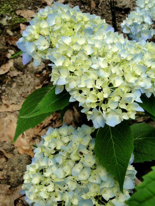 hydrangeas flowers buds