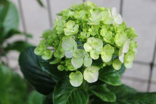 hydrangea hortensia flower