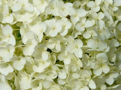 hydrangea flower flowers