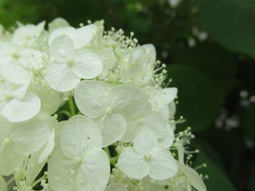 hydrangea white-flowered deciduous
