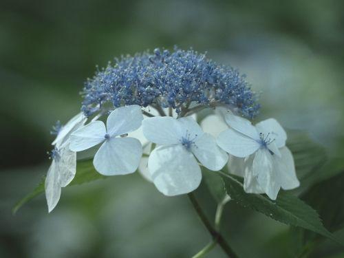 hydrangea flowers in the early summer