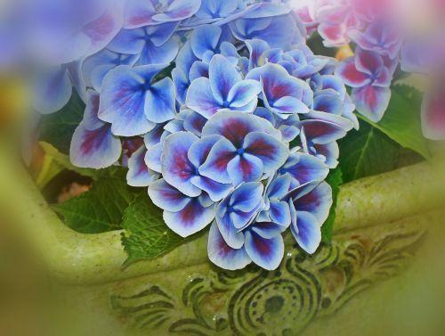 hydrangea flowers inflorescence