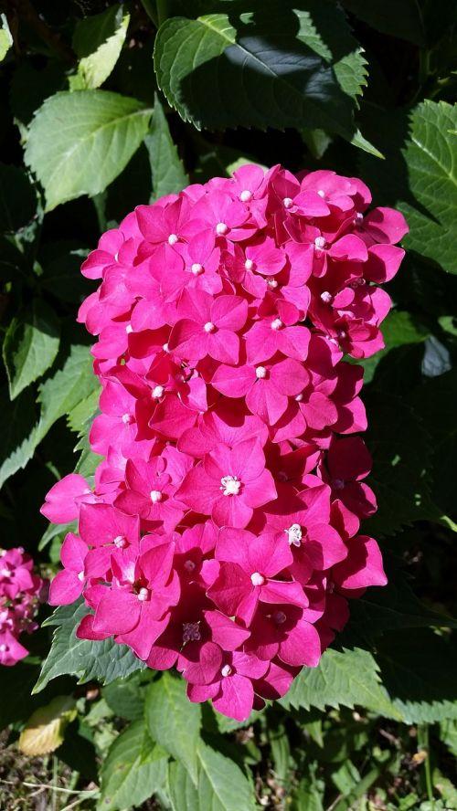 hydrangea flowers small