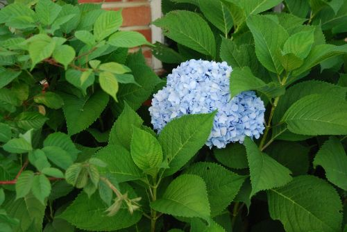 hydrangea blue hydrangea cluster