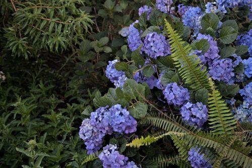 Hydrangea And Ferns