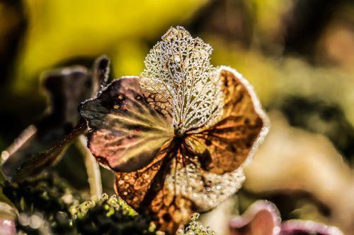 hydrangea flower broken flowers autumn
