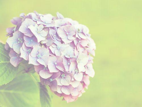 Hydrangea Flower Vintage Style