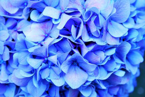 Hydrangea Image Tinted Blue