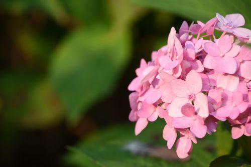 hydrangea viburnum flower pink