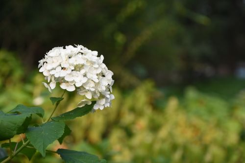hydrangea viburnum flower white