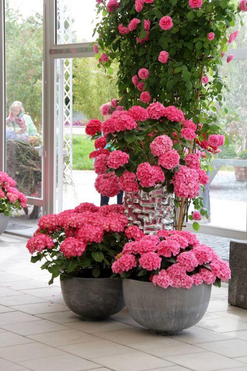 hydrangeas pink decoration