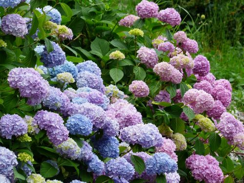 hydrangeas flowers blue