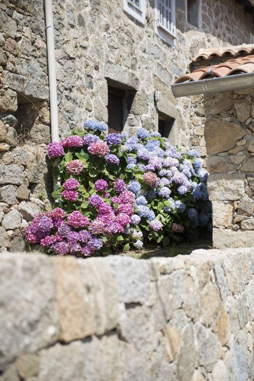 hydrangeas village corsican