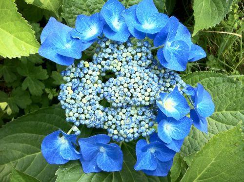hydrangeas blue summer