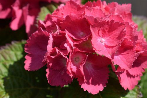 hydrangeas flowers spring