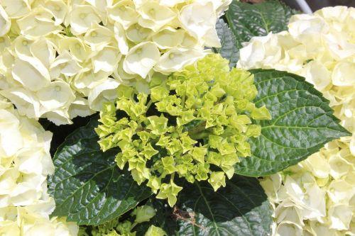 hydrangeas white hydrangea plants