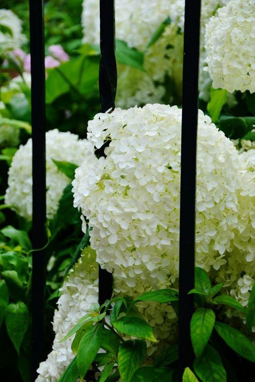 hydrangeas white hydrangeas garden