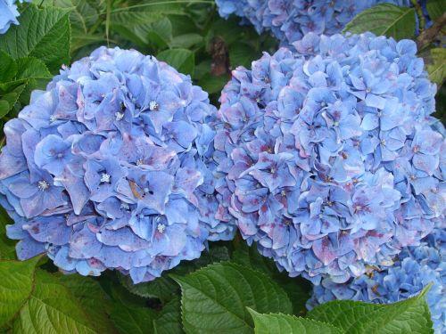 hydrangeas flowers blue