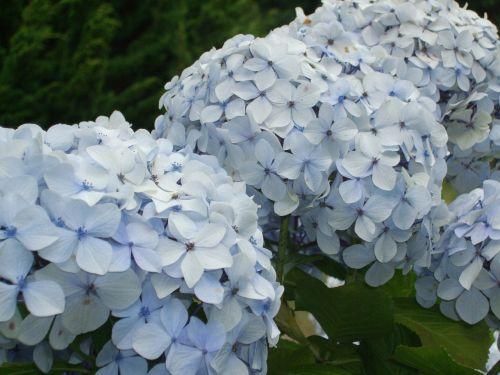 hydrangeas blue flower