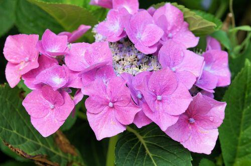 hydrangeas flowers nature