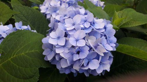 hydrangeas blue blue hydrangea