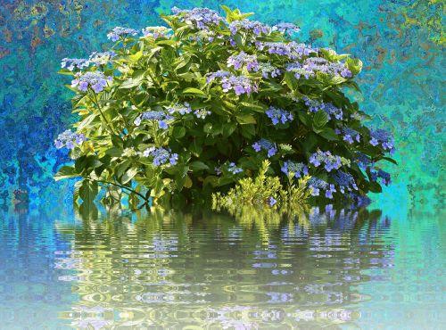 hydrangeas hydrangea bush bush