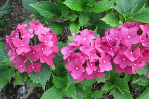 hydrangeas flowers pink