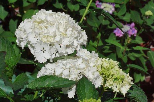 hydrangeas  flowers  summer