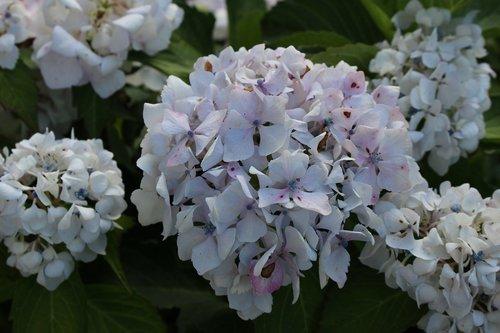 hydrangeas  garden  flowers